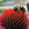"Bee on a flower • <a style=""font-size:0.8em;"" href=""http://www.flickr.com/photos/41711332@N00/1066799900/"" target=""_blank"">View on Flickr</a>"